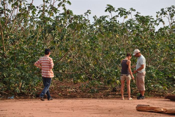 Rizinus-Pflanzen 5-6 Meter hoch