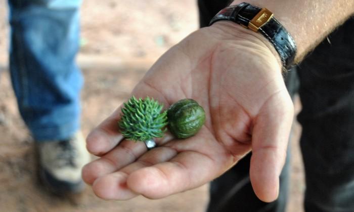 Rizinus-Frucht auf der Hand